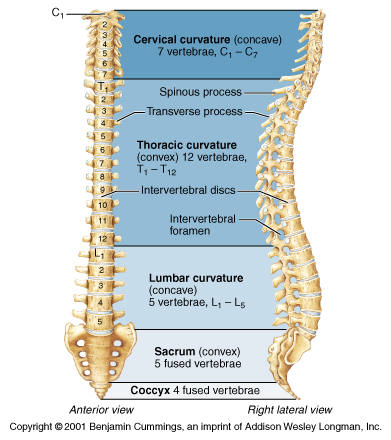 Regions of the spine